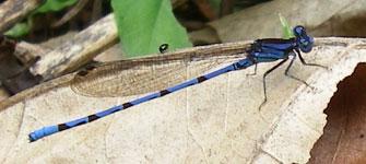 Blue dragonfly. Costa Rica, 7-27-06. - natasha
