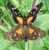 Black and orange butterfly sex, full top, Costa Rica, 8-6-06. � natasha