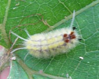 White caterpillar, Costa Rica, 7-01-06. � natasha