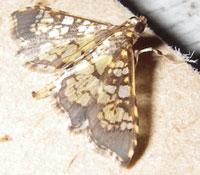 Chessboard butterfly. Costa Rica, 7-15-06. - natasha