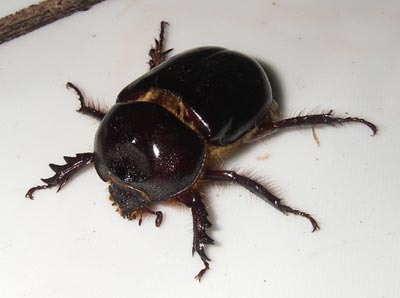 http://www.pacificviews.org/weblog/archives/images/dung-beetle-7-01.jpg