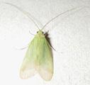 Green translucent bug; esperanza. Costa Rica, 7-29-06. - natasha