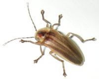 Lightning bug. Costa Rica, 7-15-06. - natasha
