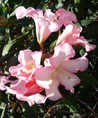 Peach rhododendrons, Olympia, WA. - natasha