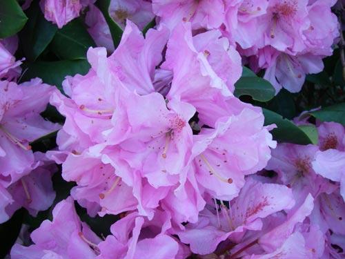 Pink rhododendrons, Olympia, WA. - natasha