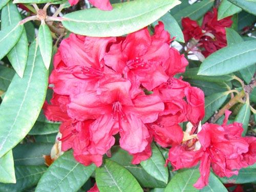 Red rhododendrons, Olympia, WA. - natasha