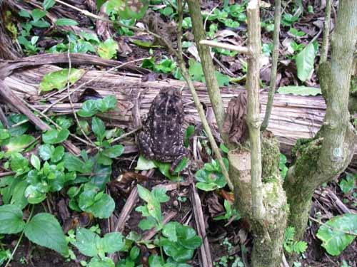 Toad hiding in plain sight, Costa Rica, 6-26-06. � natasha
